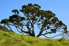 Дерево Pohutukawa стоковая фотография rf