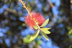 Конец-вверх цветка дерева Pohutukawa стоковые фото