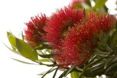 Pohutukawa - albero di Natale della Nuova Zelanda. Fotografia Stock