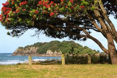 Summer beach scene in New Zealand with blossoming pohutukawa trees stock photos