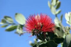 Pohutukawa - arbre de Noël de la Nouvelle Zélande Image libre de droits