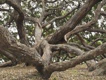 Pohutukawa Baum in Auckland Neuseeland lizenzfreies stockbild