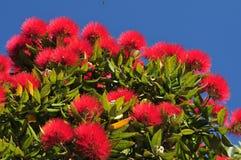 Pohutukawa blommor Arkivbild