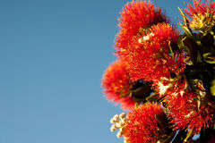Pohutukawa bloom. Stock Photo