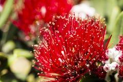 Pohutukawa Blooms Royalty Free Stock Images