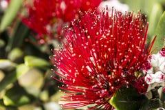 Pohutukawa Blooms Royalty Free Stock Image