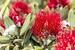 Pohutukawa Blooms Stock Image