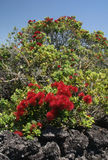 Pohutukawa Christmas Tree Stock Photography