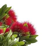 Pohutukawa, de Kerstboom van Nieuw Zeeland Stock Afbeelding