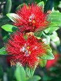 Pohutukawa - dos flores y abejas - árbol de navidad de Nueva Zelanda Fotografía de archivo