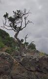 Pohutukawa drzewo zdjęcie stock