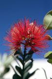 Pohutukawa Flower Stock Photos