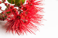 Pohutukawa flower closeup  metrosideros excelsa. Royalty Free Stock Photo