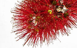 Pohutukawa flower closeup metrosideros excelsa. Royalty Free Stock Images