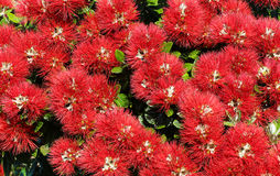Pohutukawa Flowers. When New Zealand's pohutukawa tree lights up with crimson blooms, Kiwis know that summer's here and the festive season is just around the Royalty Free Stock Photos