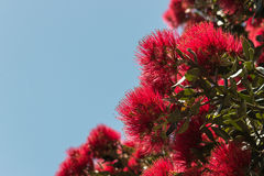 Pohutukawa flowers against blue sky Stock Image
