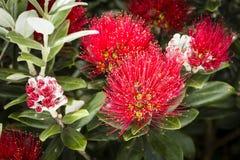 Pohutukawa Flowers Royalty Free Stock Images