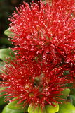 Pohutukawa flowers Royalty Free Stock Image