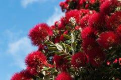 Pohutukawa flowers Stock Photos