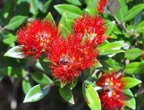 Pohutukawa Flowers & Leaves - New Zealand Christmas Tree royalty free stock photo