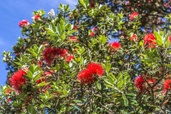 Blooming pohutukawa tree Royalty Free Stock Photos