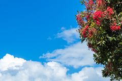 Pohutukawa Fowers. Pohutukawa tree flowering with a cloudy blue sky background stock image