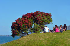 Pohutukawa kwiatów czerwony okwitnięcie w Grudniu Obrazy Royalty Free