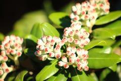 Pohutukawa kwiatu pączki wokoło otwierać Obraz Stock