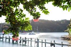 Pohutukawa kwiaty przy Kerikeri i drzewo, Nowa Zelandia, NZ z bo Zdjęcie Royalty Free