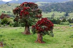 Pohutukawa Neuseeland-Weihnachtsbaum Stockfotos
