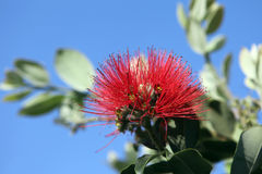 Pohutukawa - New Zealand Christmas tree Royalty Free Stock Image