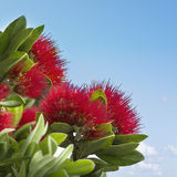 Pohutukawa, the New Zealand Christmas Tree Royalty Free Stock Photos
