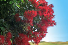 Pohutukawa, New Zealand Christmas Tree Stock Photos