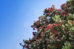 Pohutukawa - New Zealand Christmas tree Royalty Free Stock Photos