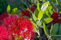 Pohutukawa New Zealand Christmas tree with red flowers. Pohutukawa - New Zealand Christmas tree with red flowers photo Royalty Free Stock Images