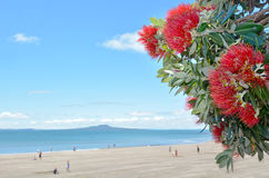Pohutukawa red flowers blossom in December Stock Image