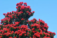 Pohutukawa red flowers Royalty Free Stock Image