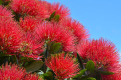 Pohutukawa red flowers Royalty Free Stock Images