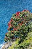 Pohutukawa red flowers blossom Stock Photo