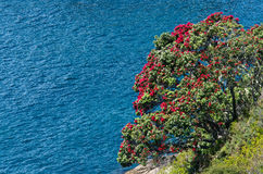 Pohutukawa red flowers blossom Royalty Free Stock Images