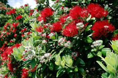 Pohutukawa red flowers blossom Royalty Free Stock Photography