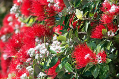 Pohutukawa red flowers blossom Royalty Free Stock Image