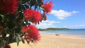 Pohutukawa red flowers blossom on the month of December New Zealand. Pohutukawa red flowers blossom on the month of December over a sandy beach with a small stock video footage