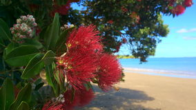 Pohutukawa red flowers blossom on the month of December New Zealand. Pohutukawa red flowers blossom on the month of December over a sandy in doubtless bay New stock footage
