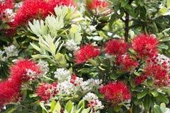 Pohutukawa red flowers Stock Image