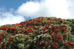 Pohutukawa Tree. The Pohutukawa (Metrosideros excelsa) or Christmas Tree is a coastal evergreen tree in the myrtle family, Myrtaceae, that produces a brilliant stock images