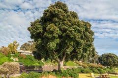 Pohutukawa Tree, Beautiful Springtime royalty free stock photography