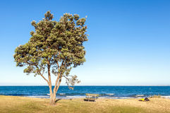 The pohutukawa tree and bench on the beach with ocean in clear s Stock Images