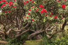 Pohutukawa tree in bloom Royalty Free Stock Photography