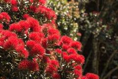 Pohutukawa tree in bloom Stock Photography